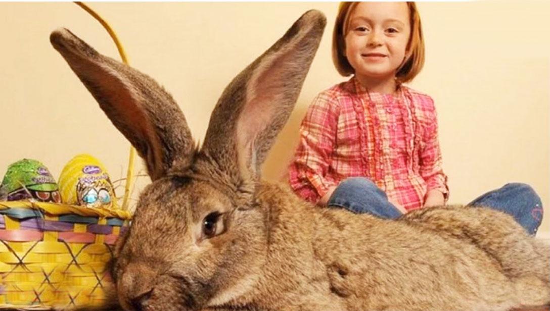 Worlds Biggest Rabbit Stolen from home and Reward reward